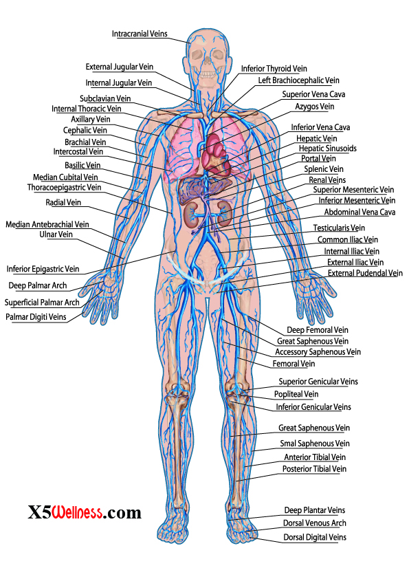 Human Body Systems With Photos