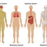 Human Body Systems [with photos]